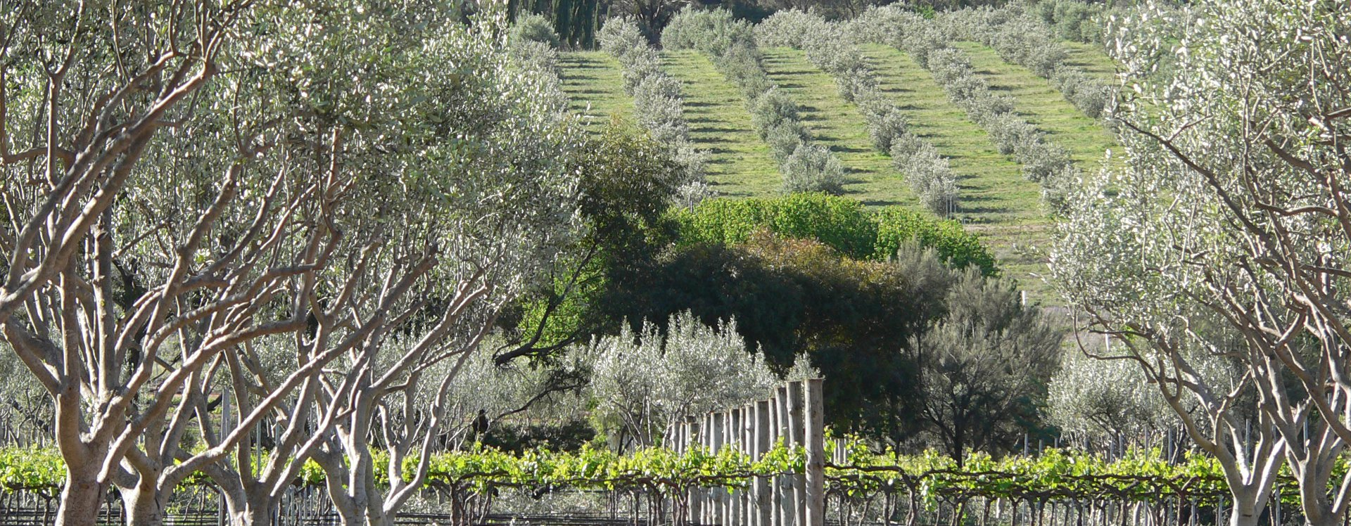 clare-valley-experiences-home-vines